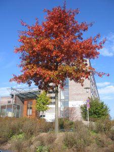 Herbstfärbung einer Sumpfeiche am Rathaus
